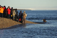 Watching a Walrus haulout. Walrus Hul Out in the Atlantic ocean, Svalbard, Arctic Circle stock photo