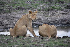 Watching at the waterhole Royalty Free Stock Photos