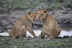 Watching at the waterhole Stock Photography