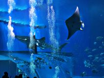 Watching Whale shark and Reef manta ray swimming. Watching Whale shark and Reef manta ray swimming in the Okinawa Churaumi Aquarium, Japan stock photography