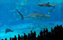 Watching the whale sharks Royalty Free Stock Photo