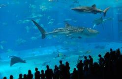 Watching the whale sharks. At the Churaumi Aquarium in Okinawa Japan royalty free stock photo