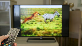 Watching wildlife documentary at home. Tv royalty free stock images