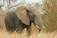 Watching you. African elephant watches closely whilst feeding on bushes Royalty Free Stock Images