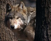 Watching You. A male timber wolf (canis lupus) watches from behind trees Royalty Free Stock Images