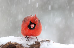 Cardinal Watching You Royalty Free Stock Images