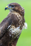 Watching you. A Common Buzzard on a post, and watching me take photos of him. Beautiful bird of prey royalty free stock image