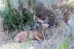 Watchman Campground, Zion National Park. A deer is resting at the Watchman Campground by the Virgin River  in Zion National Park, Utah, USA Royalty Free Stock Images