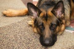 watchman för herde för tilldelad hundvänstående pålitlig arkivfoton