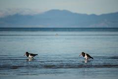Waten von Austernfischern Stockfotos