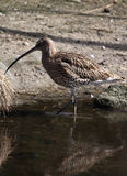 In the Water. A photo of a bird (Gallinago stock photo