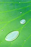 Water. The water on the leaf of lotus Stock Photos