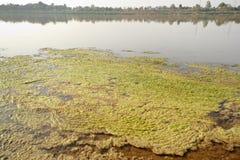 Water algae. Royalty Free Stock Photo