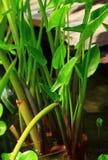 Water Arum Stock Photography