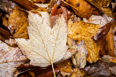 Water on Autumn Fall leaf Royalty Free Stock Image