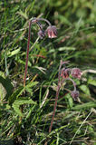 Water Avens Royalty Free Stock Image