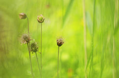 Water avens blooming in wet grasslands Stock Image