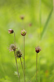 Water avens bringing colour to an English meadow royalty free stock photography