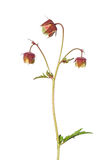 Water avens (Geum rivale) Stock Image
