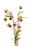 Water avens (Geum rivale) Stock Photo
