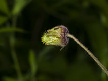 Water avens, geum rivale flower macro on a blurred background, selective focus, shallow DOF Royalty Free Stock Image