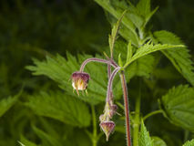 Water avens, geum rivale fluffy flowers and buds on stem macro with blurred background, selective focus, shallow DOF Royalty Free Stock Photography