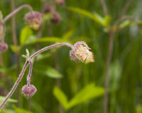 Water avens, geum rivale fluffy flowers and buds on stem macro with bokeh background, selective focus, shallow DOF Stock Photo
