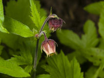 Water avens, geum rivale, fluffy flowers on stem macro with blurred background, selective focus, shallow DOF stock photography