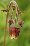 Water Avens Royalty Free Stock Photo