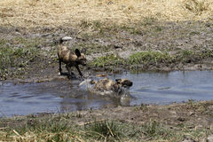 Wild Dog Water Babies Splashing Stock Photos