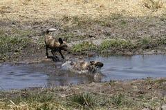 Wild Dog Water Babies Splashing Stock Photos