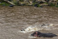 Water barrier and hippos in the path of the great migration of ungulates. Masai Mara, Kenya. Africa Royalty Free Stock Photo