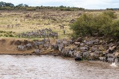 Water barrier on the path of great migration. Masai Mara, Kenya. Africa stock images