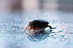 Water beetle macro Royalty Free Stock Photography