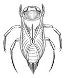 Water beetle outline Royalty Free Stock Image