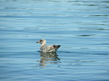 Water bird in the Atlantic Ocean. Picture taken in the Atlantic Ocean in the vicinity of Bar Harbor Maine, USA Royalty Free Stock Photos