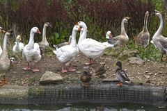 Water Bird, Bird, Ducks Geese And Swans, Duck Royalty Free Stock Image