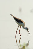 Water bird - black winged stilt (himantopus himantopus) Stock Images
