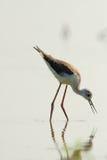 Water bird - black winged stilt (himantopus himantopus) Stock Images
