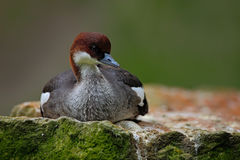Water bird duck Smew, Mergus albellus, sitting on the stone. Royalty Free Stock Photography
