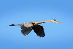 Water bird in flight. Flying heron in the green forest habitat. Action scene from nature. Bird on the blue sky. Great Blue Heron, Stock Photo