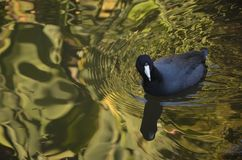 Water bird. Bird at the Huntington Library botanical gardens in California Royalty Free Stock Photos