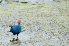 Water bird on the leaf. Using its Large Feet to Walk Across Lily Pads on the leaf lotus Stock Photo