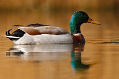 Water bird Mallard, Anas platyrhynchos, with reflection in the water. Slovakia Royalty Free Stock Photo