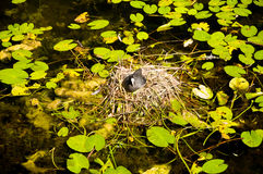 Water bird nesting Royalty Free Stock Photo