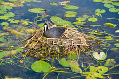 Water bird nesting Stock Image