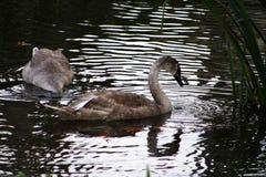 Water, Bird, Reflection, Fauna stock photo