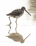 Water bird with reflection. This long billed dowitcher is patrolling the still,shallow waters of a riparian preserve in search of its next meal Royalty Free Stock Photo