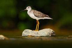 Water bird in the river, Rio Baru in Costa Rica. Lesser Yellowlegs, Tringa flavipes sitting on stone in the river. Water bird in t Stock Image
