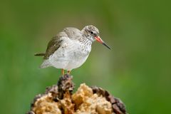 Water bird in the river, Tringa totanus, Comnon Redshank sitting on stone in the river. Water bird in forest. Summer bird photo fr Royalty Free Stock Image